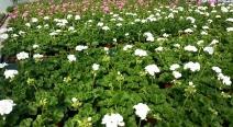 Beet- & Balkonpflanzen_6