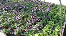 Beet- & Balkonpflanzen_9